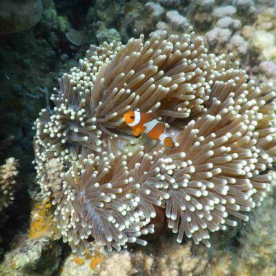 ikan nemo karimunjawa